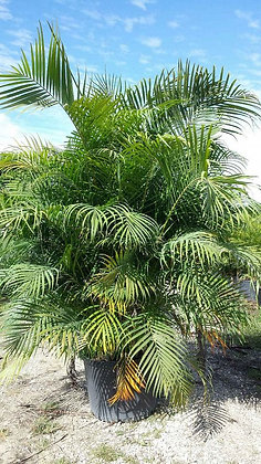 Areca Palm 25 Gallon 10-12 Feet