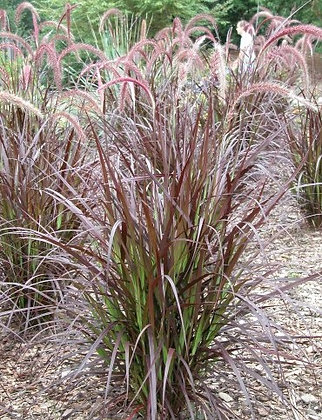 Red Fountain Grass 3G