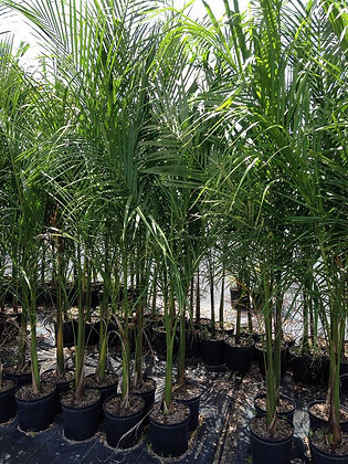 Royal Palm 7 Gallon 6-7 Feet
