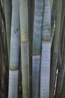 "Tropical Blue Bamboo ""Bambusa Chungii"""