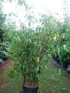 "Guadua Bamboo ""Guadua Angustifolia"""