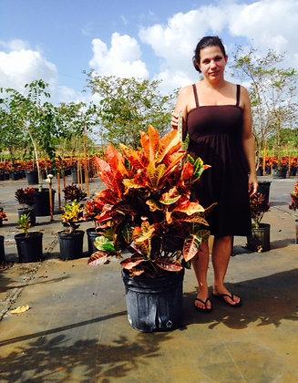 Croton Petra 7 Gallon