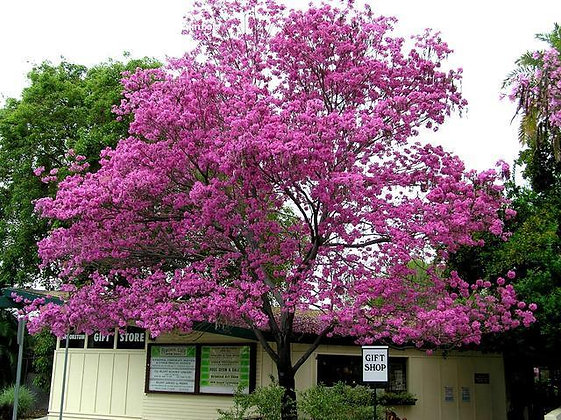 Pink Trumpet Tree Tabebuia