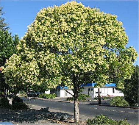 Privit Ligustrum Tree