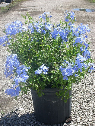 Plumbago Blue Imperial 3 Gallon