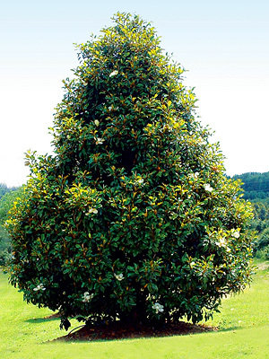 Magnolia Brackens Brown Beauty