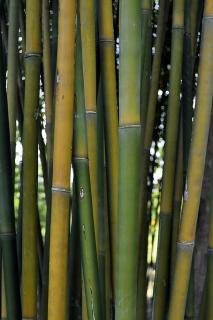 "Graceful Bamboo ""Bambusa Textilis Gracilis"""