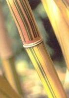 "Alphonse Karr ""Bambusa Multiplex"""