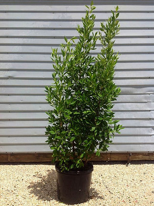 Green Buttonwood 3 Gallon