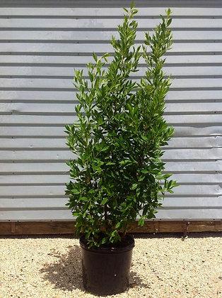 Green Buttonwood 3 Gallon