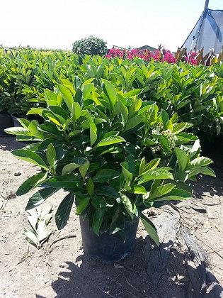 Viburnum Odoratissimum Awabuki 3 Gallon