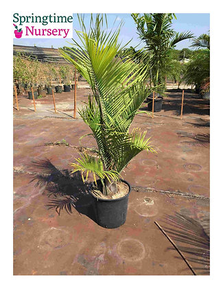 7 Gallon Triangle Palm