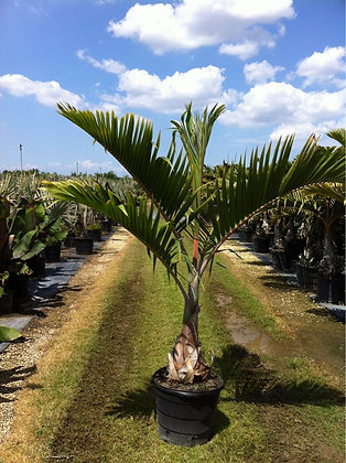 Bottle Palm 15 Gallon 5-6 Feet