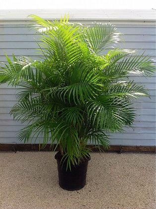 Areca Palm 15 Gallon 7-8 Feet