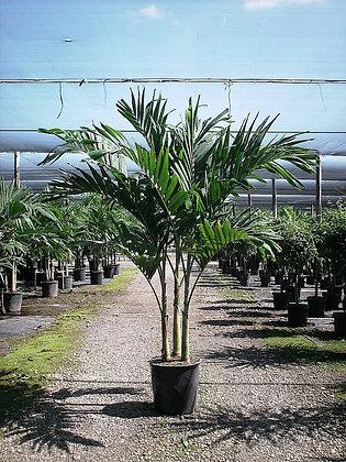 Christmas Palm 7 Gallon 5-6 Feet