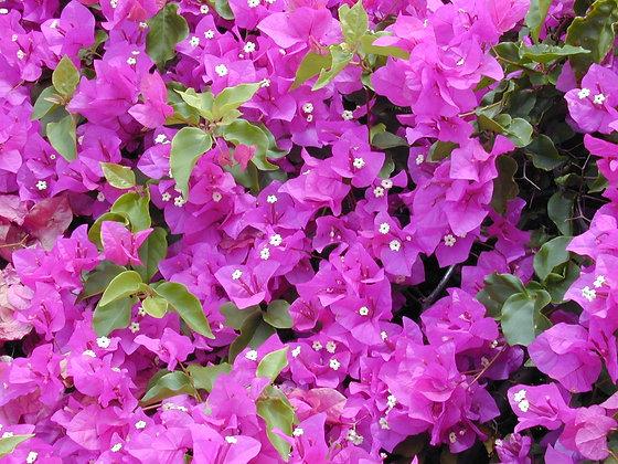 Bougainvillea Silhouette Lavender 3G