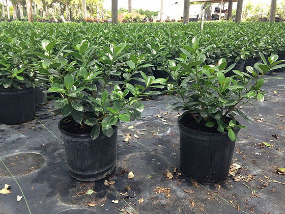 Green Island Ficus 3 Gallon
