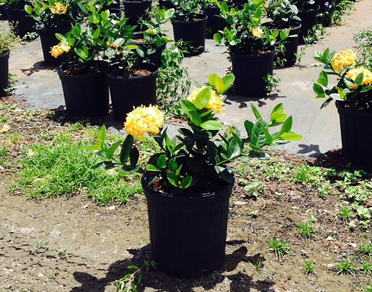 Ixora Yellow Maui 3G