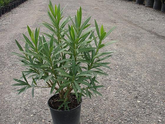 Oleander White 3 Gallon