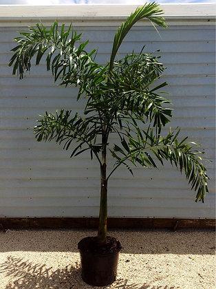Foxtail Palm 7 Gallon 5-6