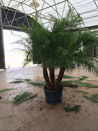 Pygmy Date Palm 15 Gallon Triple 4-5 Feet