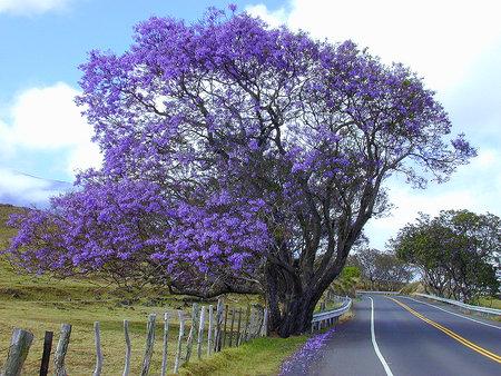 Purple Trumpet Tree Tabebuia