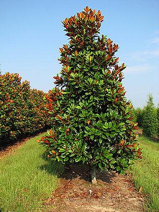 Magnolia grandiflora 'D.D.Blanchard'