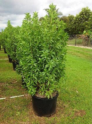Green Buttonwood 15 Gallon 4-5 Feet
