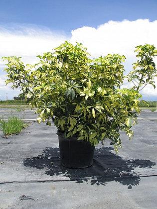 Arboricola Trinette 7 Gal
