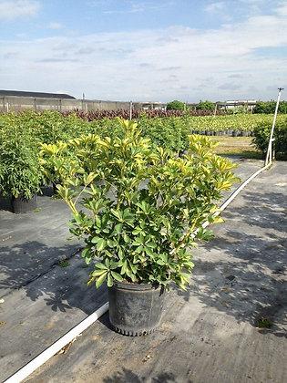 Arboricola Gold Capella 7G