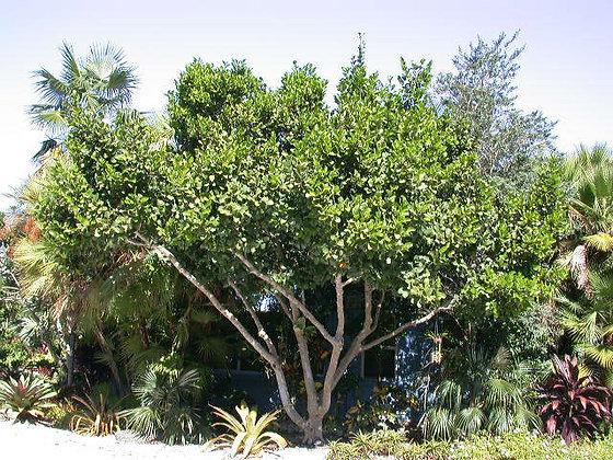 Pigeon Plum Tree
