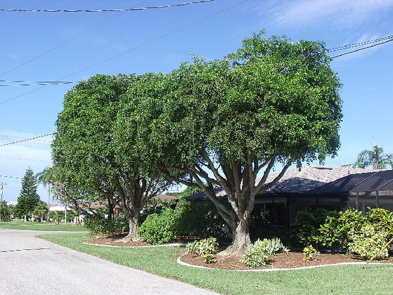 Wild Tamarind Florida