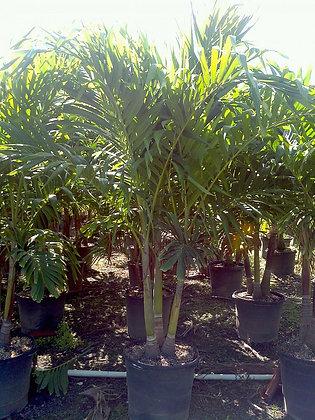 Christmas Palm 15 Gallon 6-7 Feet