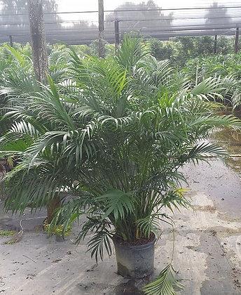 Cat Palm 7 Gallon 4-5 Feet