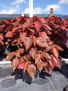 Copperleaf Louisiana Red 3 Gallon