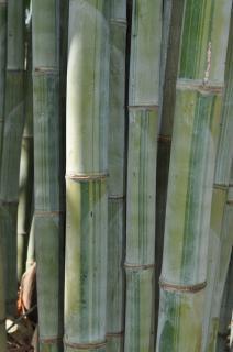 "Angel Mist Bamboo ""Dendrocalamus Minor Amoenus"""