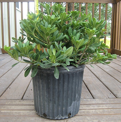 Pittosporum 3 Gallon