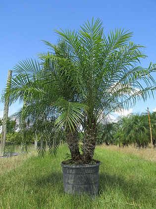 Pygmy Date Palm 15 Gallon  Double 4-5 Feet