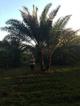 Hybrid Palm