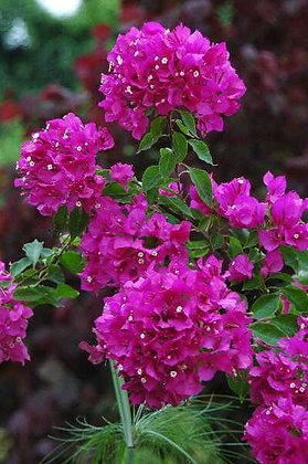 Bougainvillea Vera Pink 3G