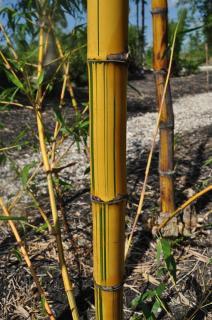 "Golden Hawaiian Bamboo ""Bambusa Vulgaris"""