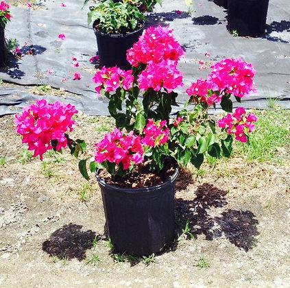 Bougainvillea Vera Purple 3G
