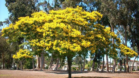 Yellow Poinciana Tree