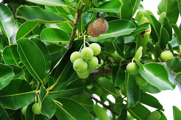 Brazilian Beautyleaf Tree