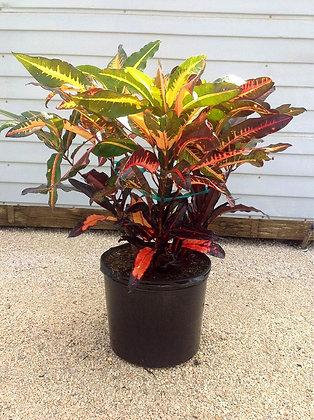 Croton Mango 7 Gallon