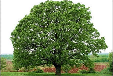 Spanish Stopper Tree