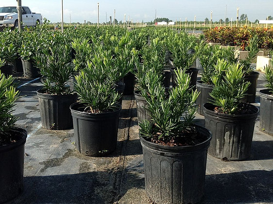 Podocarpus Pringles 3 Gallon