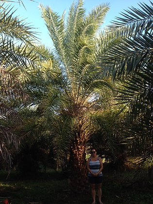 Sylvester Wild Date Palm