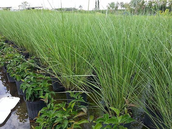 Cord Grass 3 Gallon