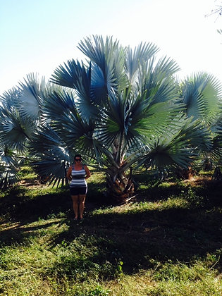Bismark Palm 12 to 20 Feet High